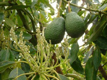 Aguacate, la fruta de la esperanza en Nigeria